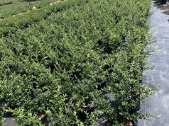 Pyracantha 'Mohave' #3