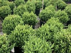 Buxus Green Mountain #7 Crop