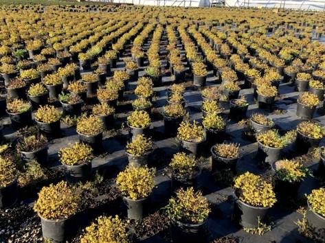 Spiraea Goldmound Crop