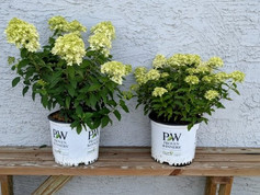 Hydrangea Limelight and Little Lime - 3 Gal.