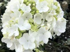 Viburnum mac. Sterile #7 - Bloom