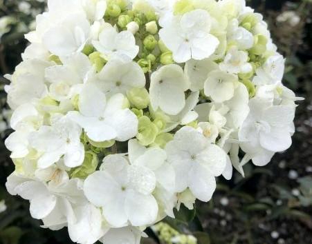 Vib. mac. Sterile #7 Bloom