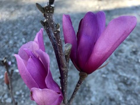 Magnolia Ann 7 Gal. Bloom