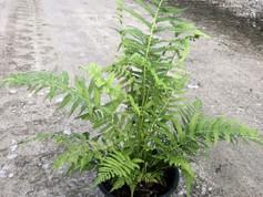 Fern--Thelypteris 'Southern Wood Fern' - 1 Gal.