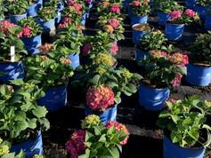 Hydrangea Summer Crush Crop