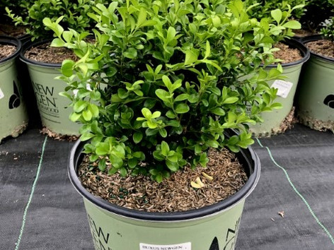 Buxus NG Independence