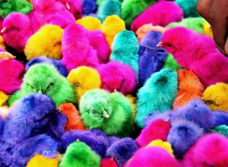 Pintos coloridos, frangos brancos