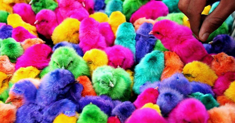 pintinhos coloridos