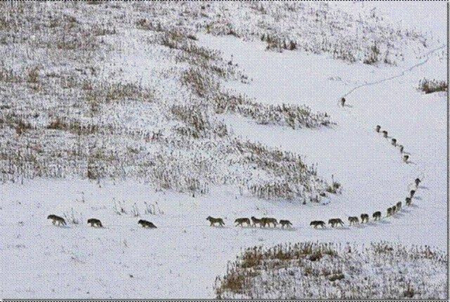 Wolf Pack on the Move - Leadership in Nature