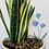 Thumbnail: Chicory Botanical Stakes
