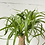 Thumbnail: Ponytail Palm
