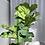 Thumbnail: Fiddle Leaf Fig