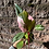 Thumbnail: Philodendron Pink Princess