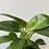 Thumbnail: Philodendron Birkin