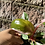 Thumbnail: Philodendron Pink Princess