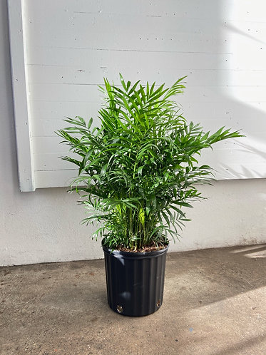 Large Parlor Palm