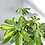 Thumbnail: Schefflera Arboricola Gold Capella