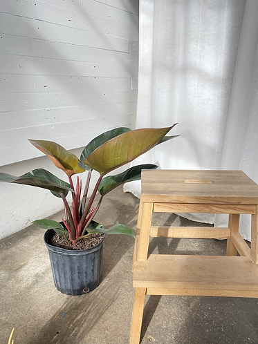 Philodendron Rojo