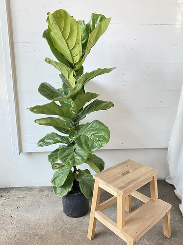 Fiddle Leaf Fig Column