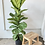 Thumbnail: Fiddle Leaf Fig Column