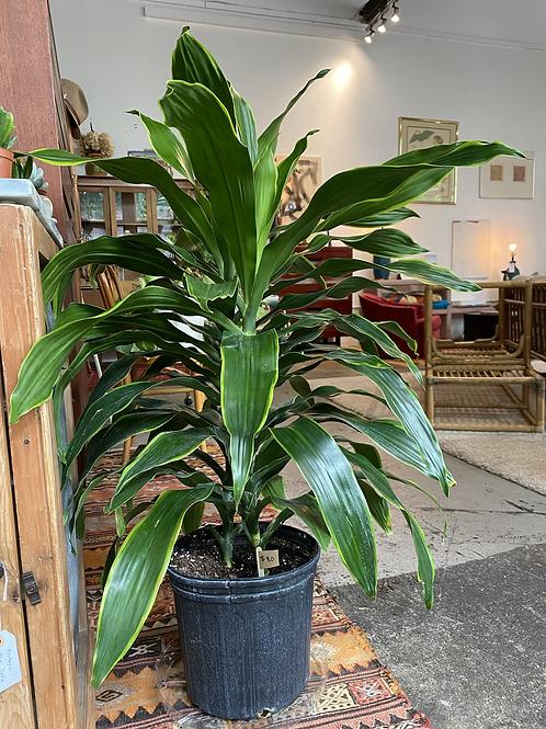 Large Dracaena Dorado