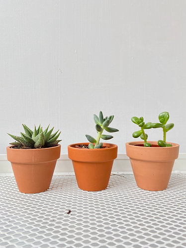 Assorted Succulents- 3 Pack