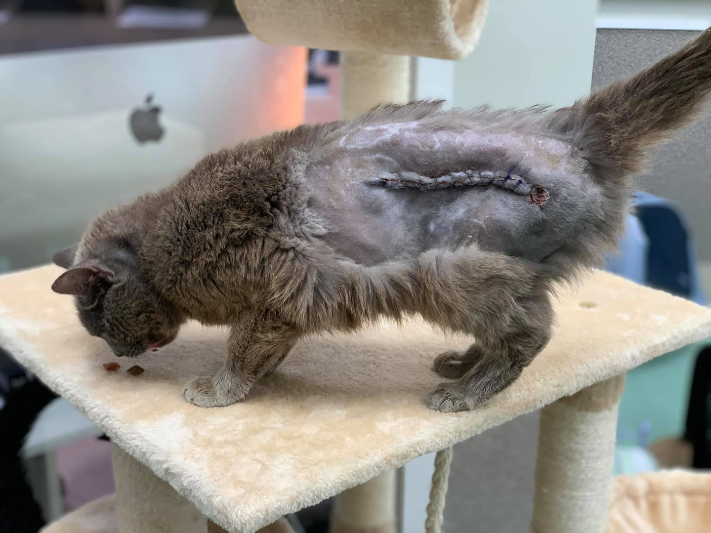 Cat after surgery at Hope for Life