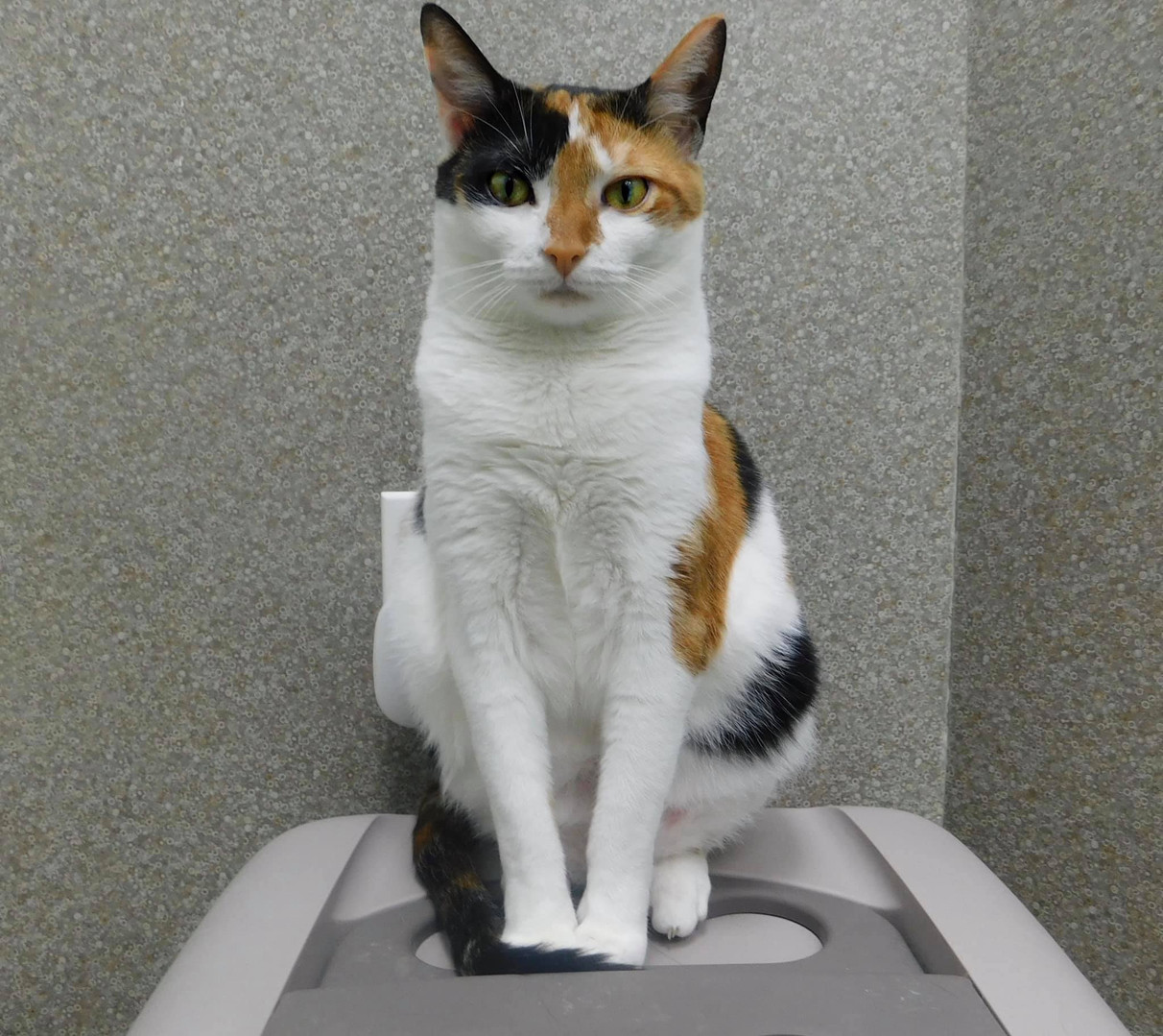 Calico cat waiting for adoption at Hope for Life