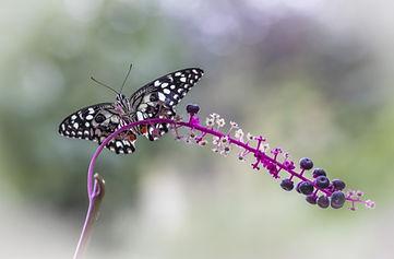 Butterfly Aura Camacho-Maas