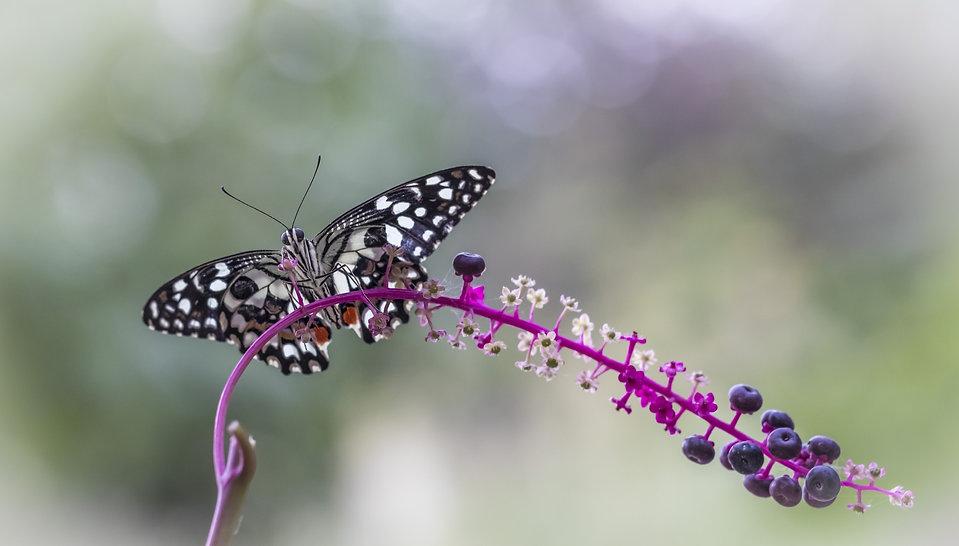 Butterfly Aura Camacho-Maas Mystic