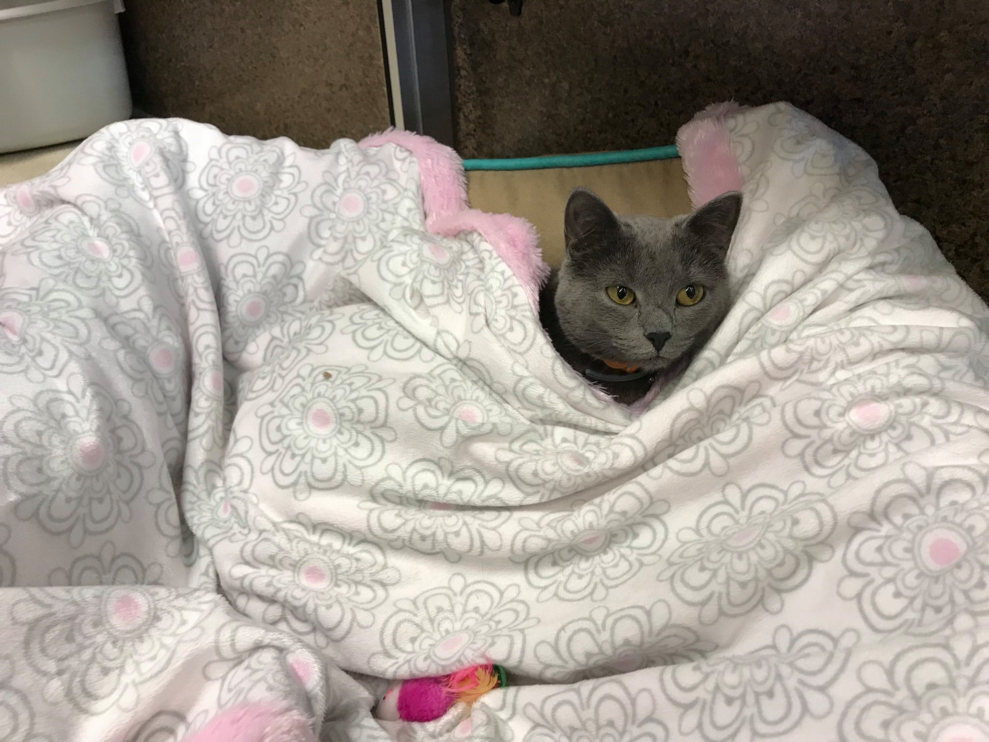 Grey cat under a blanket at Hope for Life