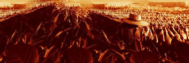 Tobacco-farming-Vinales 01.jpg