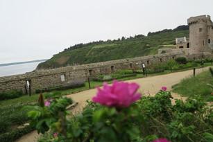les roses rugueuses du jardin