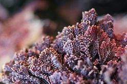 Coralline-Seaweed.jpeg