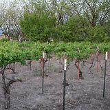 Mesilla Area Vineyards 02.jpg