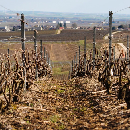 Champagne winegrowers facing COVID-19
