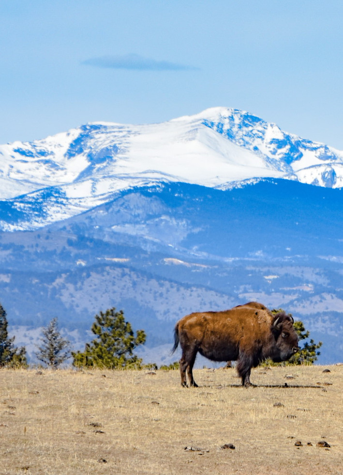 Buffalo Against Mountains