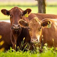 red-angus-beef-cows-7104.jpg