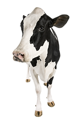 COW-3.png