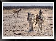 Zebras of Africa - 012 - © Jonathan van