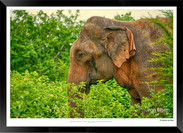 Elephants of Sri Lanka -  013 - ©Jonathan van Bilsen.jpg