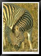 Zebras of Africa - 005 - © Jonathan van