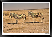 Zebras of Africa - 014 - © Jonathan van