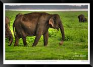 Elephants of Sri Lanka -  005 - ©Jonathan van Bilsen.jpg
