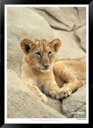 Cats_of_Africa_-_015_-_©_Jonathan_van_B