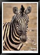 Zebras of Africa - 023 - © Jonathan van