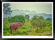 Elephants of Sri Lanka -  012 - ©Jonathan van Bilsen.jpg