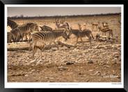 Zebras of Africa - 009 - © Jonathan van