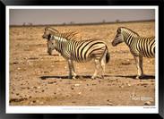 Zebras of Africa - 013 - © Jonathan van
