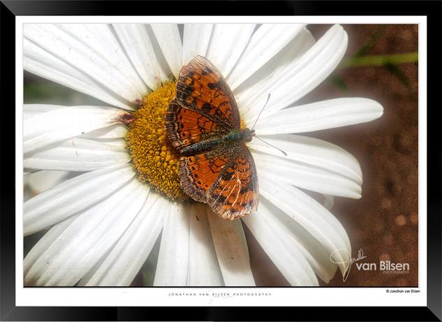 Images of Butterflies - IB001 - Jonathan